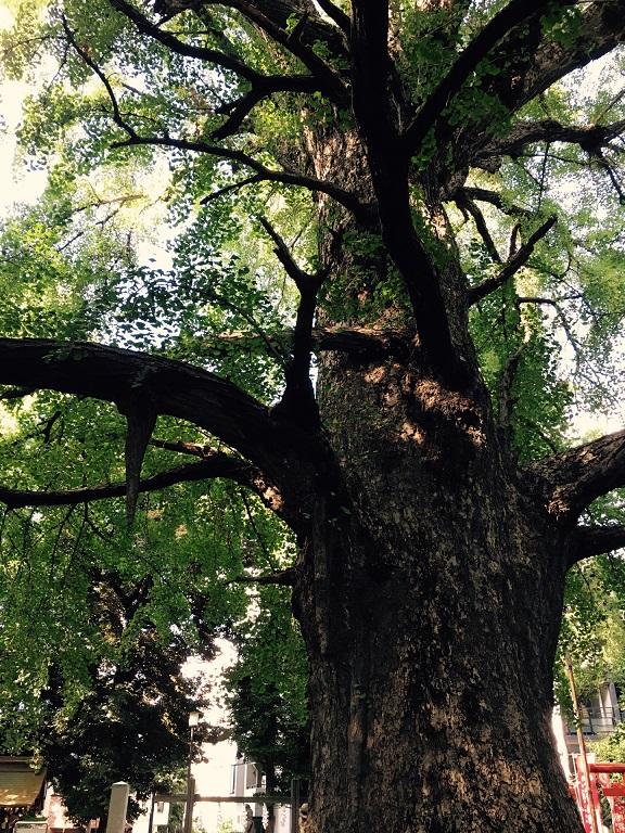 鬼子母神堂の大木